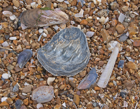 Pebbles and shells on a beach. stock photo, Shells and pebbles on the high tide line. by Ian Langley