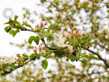 Apple flowers stock photo, Apple flower in the early spring by Sinisa Botas