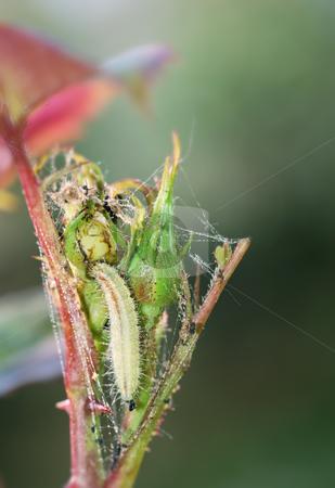 Larva on rose bud stock photo, Parasitic larva feeding on a rose bud. by Ivan Paunovic