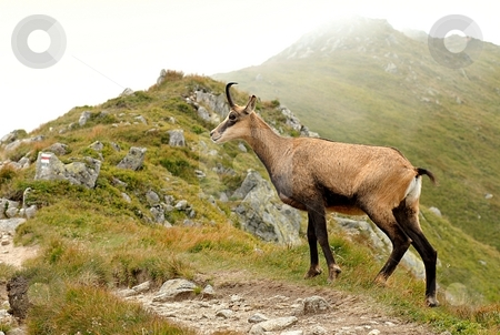 Capricorn stock photo, Alpine Ibex, capricorn by Juraj Kovacik