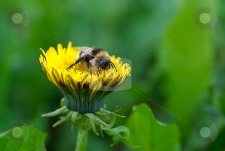 Honney bee on dandalion flower stock photo, Honney bee on dandalion flower by Juraj Kovacik