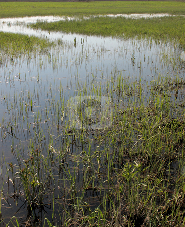 Swamp stock photo, Swamp in sunny day by Juraj Kovacik
