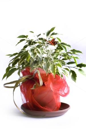 Ficus tree stock photo, Ficus tree benjamin in a pot by Desislava Dimitrova