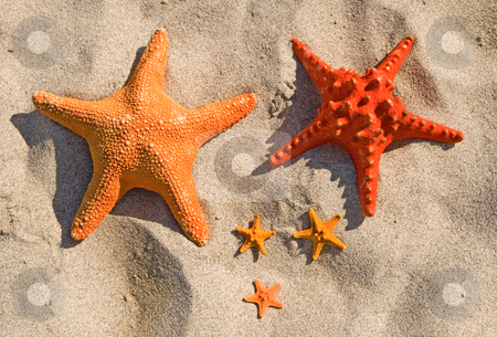 Family of large and small starfish on a sandy beach. stock photo, Family of large and small starfish on a sandy beach. by Stephen Rees