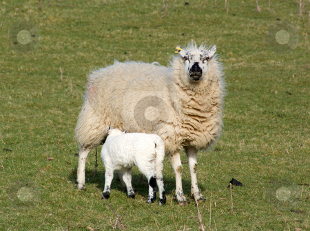 A sheep feeding its lamb. stock photo, A sheep feeding its lamb. by Stephen Rees