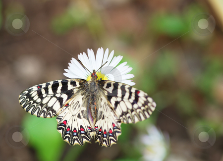 Southern festoon on daisy stock photo, Butterfly Southern Festoon sucking nectar from a daisy flower. by Ivan Paunovic