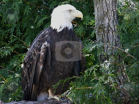North American Bald Eagle stock photo, North American Bald Eagle perched on a tree limb. by Dazz Lee Photography