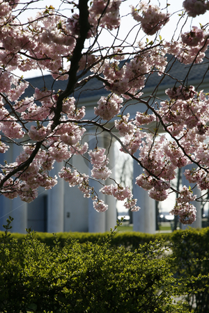 Cherry Blossoms with Columns stock photo, Cherry Blossoms with Columns by Terise Slotkin