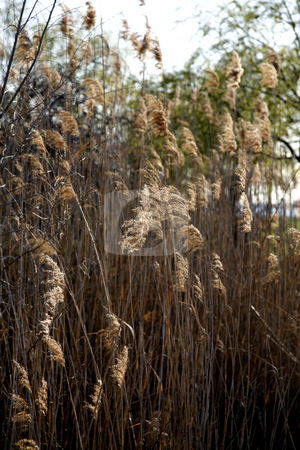 Swamp Grass stock photo, Swamp Grass in Afternoon Light by Terise Slotkin