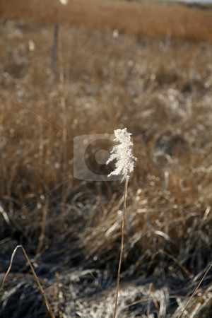 Swamp Grass with Sun Highlights stock photo, Swamp Grass with Sun Highlights by Terise Slotkin