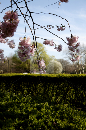 Spring Cherry Blossoms stock photo, Cherry Blossoms with Hedges by Terise Slotkin