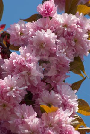 Baumbl?te - Blooming trees stock photo, Baumbl?te - Blooming trees by Wolfgang Heidasch