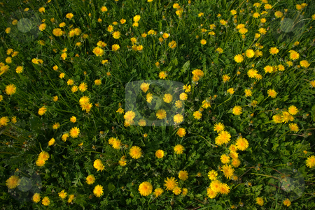 Gew?hnliche L?wenzahn (Taraxacum sect. Ruderalia) - Dandelion stock photo, Der Gew?hnliche L?wenzahn (Taraxacum sect. Ruderalia) stellt eine Gruppe ?u?erst ?hnlicher und stark verwandter Pflanzen in der Gattung L?wenzahn (Taraxacum) aus der Familie der Korbbl?tler (Asteraceae) dar.  - The common name Dandelion is given to members of the genus Taraxacum, a large genus of flowering plants in the family Asteraceae. by Wolfgang Heidasch