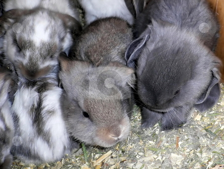 Baby Rabbits stock photo, Baby English Lops  any of various burrowing animals having long ears and short tails; raised for pets or food by JJ Havens