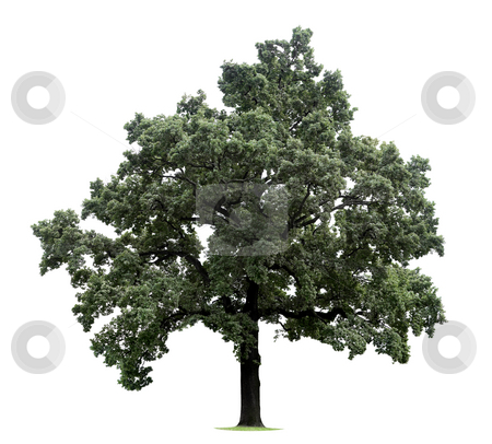 Huge Isolated Tree stock photo, Huge tree isolated on a white background by Jan Martin Will