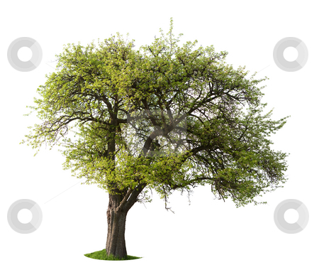 Isolated Apple Tree stock photo, Isolated Apple tree in  spring by Jan Martin Will