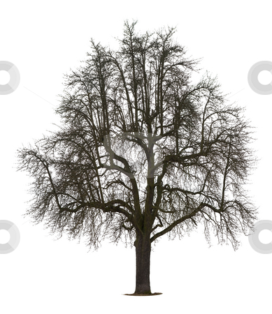 Isolated pear Tree stock photo, Isolated Pear tree in winter by Jan Martin Will