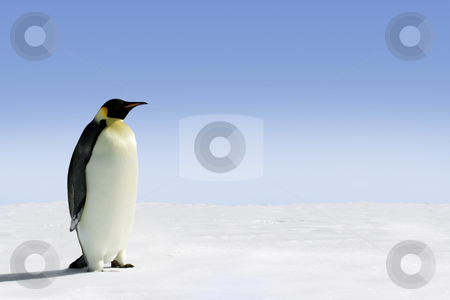 Antarctica stock photo, Penguin in Antarctica on a sunny day by Jan Martin Will