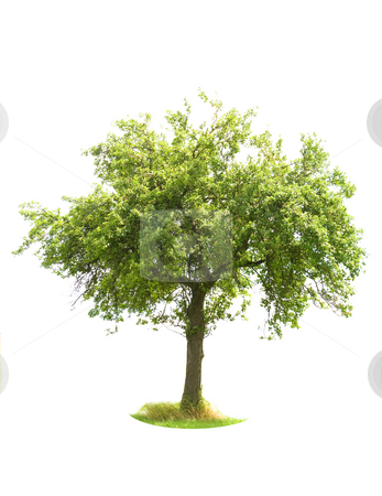 Isolated Apple Tree stock photo, Apple Tree isolated on white by Jan Martin Will
