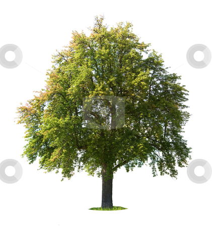 Pear tree stock photo, Pear tree (Pyrus communis) isolated on white by Jan Martin Will