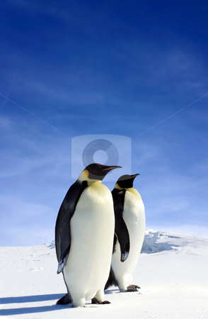 Antarctic Wildlife stock photo, Two Penguins in Antarctica by Jan Martin Will
