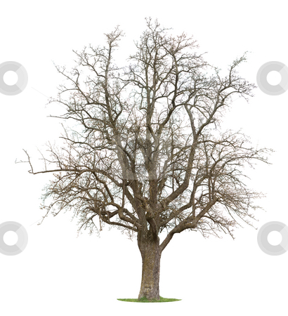 Apple Tree stock photo, Isolated Apple Tree inbetween the season of winter and spring by Jan Martin Will