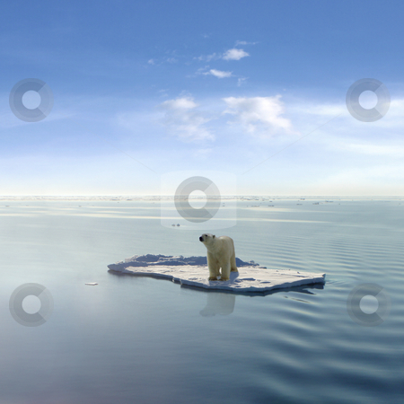 The last Polar Bear stock photo, A polar bear managed to get on one of the last ice floes floating in the Arctic sea. Due to global warming the natural environment of the polar bear in the Arctic has changed a lot. The Arctic sea has much less ice than it had some years ago. by Jan Martin Will