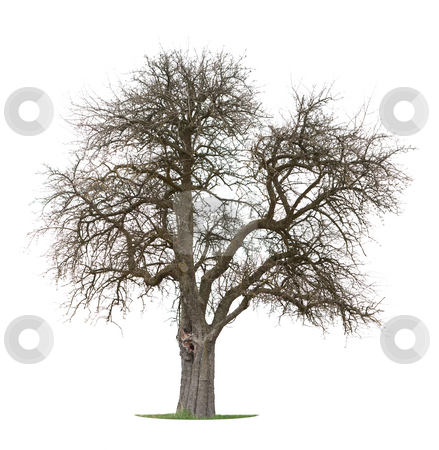 Apple Tree stock photo, Isolated Apple Tree at the beginning of spring. Grass is already green, but tree looks still as if in Winter by Jan Martin Will