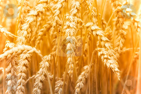 Wheat stock photo, Wheat field in Germany by Jan Martin Will