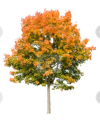 Autumn Maple Tree stock photo, Autumn maple tree isolated on white by Jan Martin Will