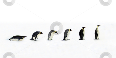 Penguin Evolution stock photo, Evolution of the penguin. Once the penguin was a backward belly gliding animal, however with multiple tiny evolutionary steps over billions of years the penguin became on of the most advanced long-neck animals we know of. by Jan Martin Will