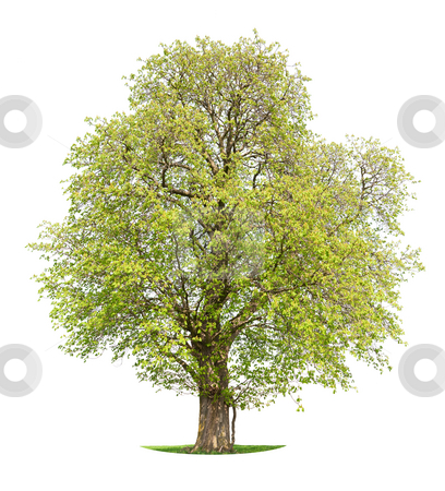 Chestnut tree stock photo, Chestnut tree isolated against a white background in early spring by Jan Martin Will