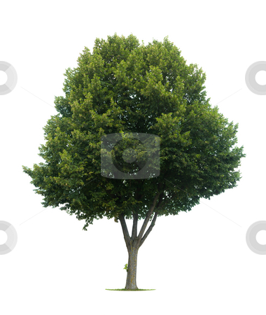 Isolated lime tree stock photo, This isolated lime tree should be a T?lia cord?ta or a Tilia platyphyllos by the latin name by Jan Martin Will