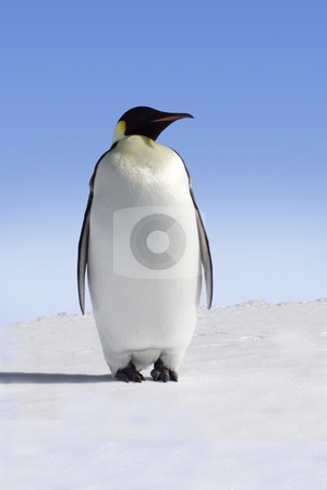 Penguin stock photo, Single emperor penguin in Antarctica by Jan Martin Will