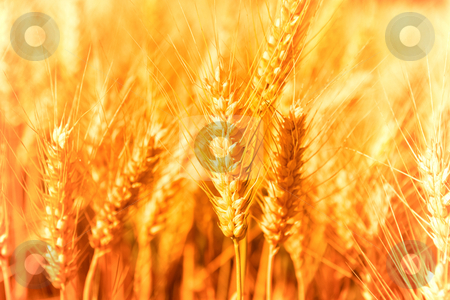 Golden Harvest stock photo, Golden glowing wheat field in Germany by Jan Martin Will