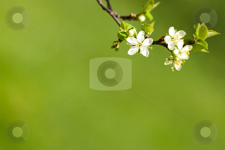 BBlooming plum tree background stock photo, Twig of a blooming plum tree with shallow depth of field against a green background in spring by Jan Martin Will