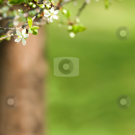 Plum tree background stock photo, Blooming plum tree twig in spring time against an out of focus green background by Jan Martin Will