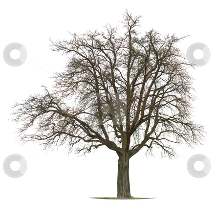 Apple Tree stock photo, Apple tree in between the season winter and spring by Jan Martin Will