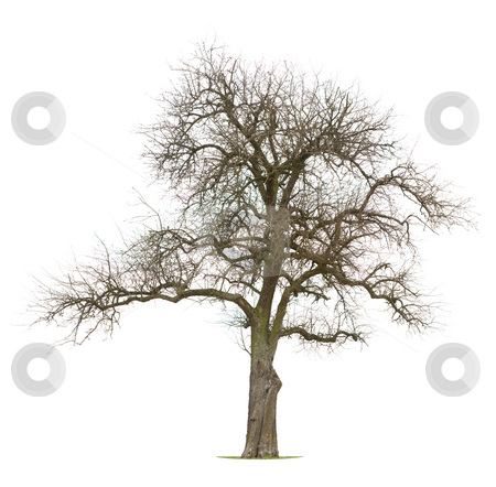Apple Tree stock photo, Isolated Apple tree in early spring/late winter by Jan Martin Will