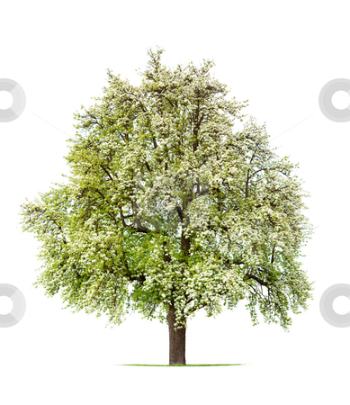 Pear Tree stock photo, Blooming Pear Tree in Spring Isolated Against a White Background by Jan Martin Will