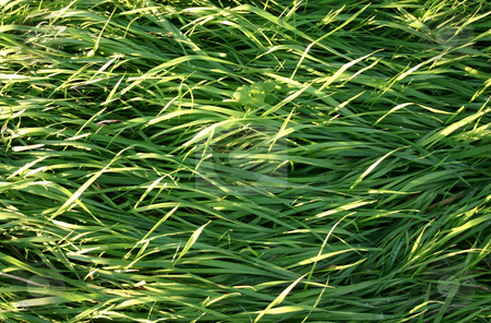 Long wild grass stock photo, Long wild grass by Stephen Rees