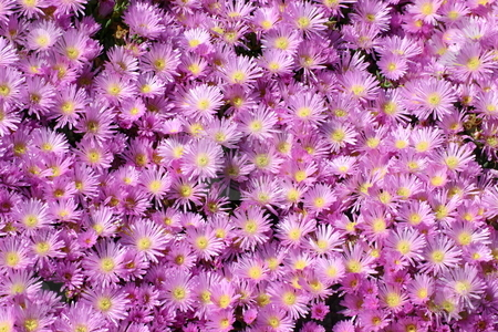 Pink mesembryanthemum stock photo, Pink mesembryanthemum by Stephen Rees
