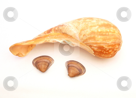 Three sea shells.     stock photo, Thre sea shells found on the tide line. by Ian Langley