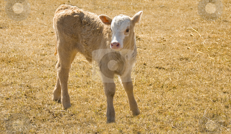 Brown calf stock photo, Brownish colored young calf on the meadow by Wolfgang Zintl
