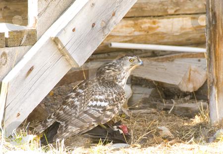 Chicken hawk stock photo, Chicken hawk is sitting on his fresh kill by Wolfgang Zintl
