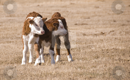 Two calfs stock photo, Brother and sister calfs together on the meadow by Wolfgang Zintl