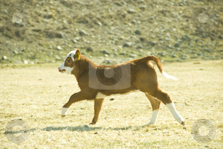 Running calf stock photo, Young calf is running on the meadow by Wolfgang Zintl