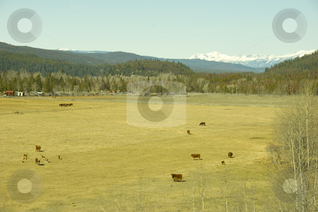 Coast mountains stock photo, Cows and the coast mountain range of british columbia in spring by Wolfgang Zintl