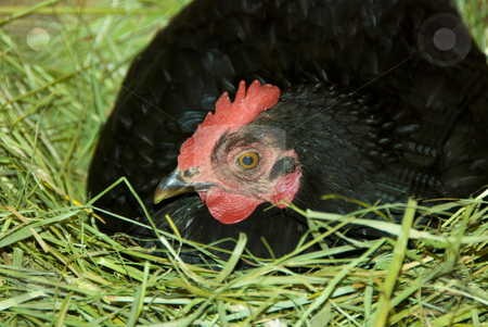 Hen in the nest stock photo, Black hen is sitting on the nest by Wolfgang Zintl