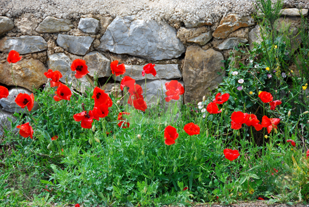Poppy stock photo, Red poppy flowers in  front of a wall by Wolfgang Zintl